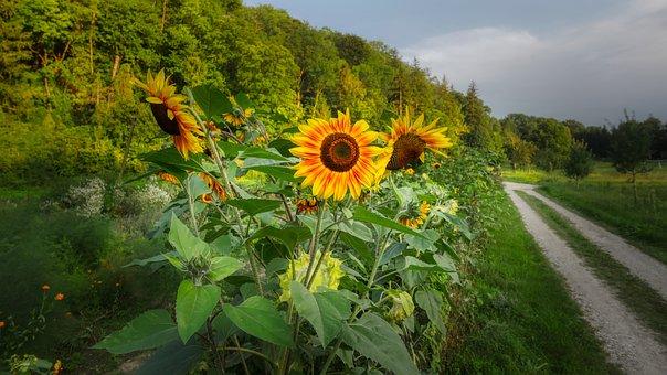 Sunflower, Flower, Summer, Blossom, Bloom, Nature