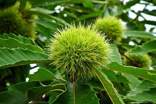 Chestnut, Edible, Fruit, Healthy, Sweet, Delicious
