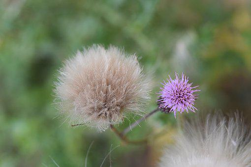 Flower, Thistle Flower, Plant Spicy, Thistle, Nature