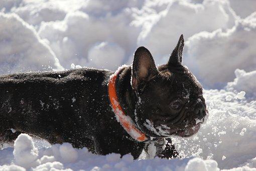 French Bulldog, Snow, Fun, Hundeliebe, Winter, Dog