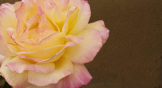 Rose, Yellow Rose, Pink Rose, Petals, Garden