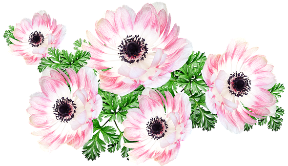 Flowers, Pink, Anemone, Cut Out, Isolated, Garden