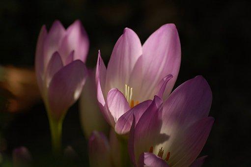 Flowers, Colchicum, Purple, Bloom, Gentle, Garden