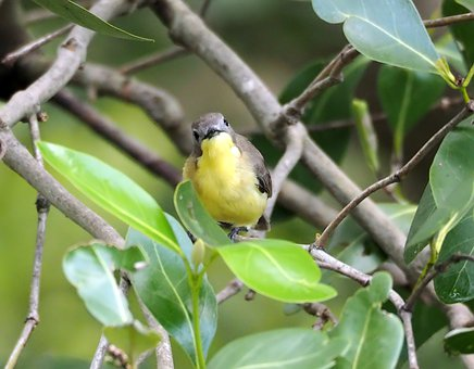 Golden-bellied Flycatcher, Wild, Bird, Small, Cute