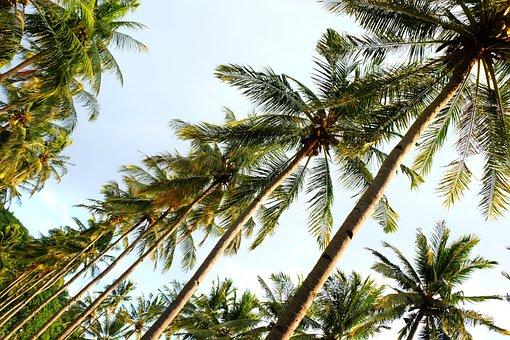 Coconut, Green, Tropical, Palm, Beach, Tree, Nature