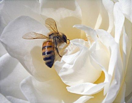 Bee, Honeybee, Pollen, Honey Bee, Rose, White Rose