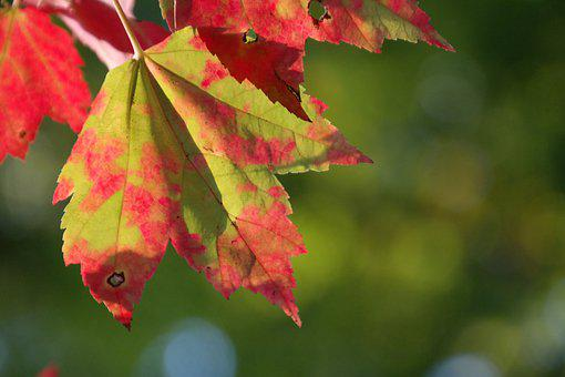 Fall Foliage, Red, Green, Autumn, Wine, Leaf, Forest
