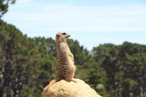 Meerkat, Wellington, New Zealand, Zoo, Lookout, Curious