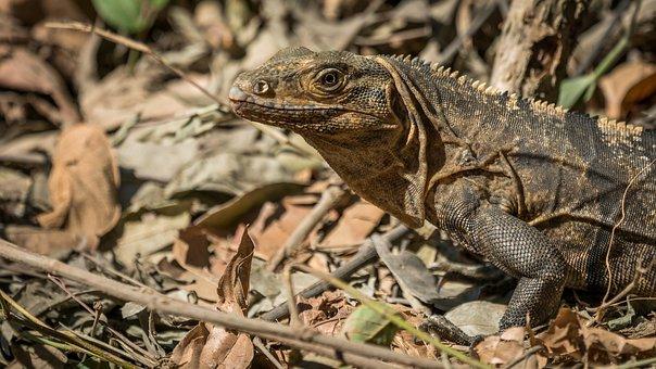 Animal, Wildlife, Nature, Outdoors, Iguana, Dragon