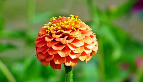 Zinnia, Flower, Orange, Garden, Plant, Nature, Macro
