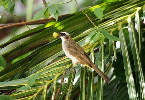 Yellow-vented Bulbul, Feeding, Perch, Wild, Bird