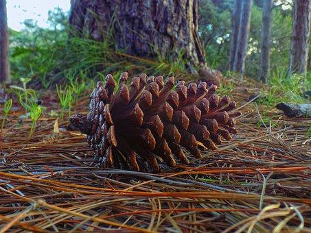 Pine Cone, Araucaria, Plant, Tree, Conifer, Cone, Flora