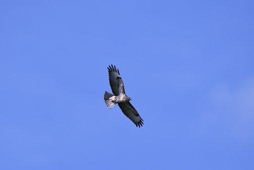 Common Buzzard, Bird Of Prey, Wings, Flying, Plumage