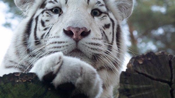 Tiger, Paw, Cat, Animal World, Mammal, Predator, Kitten