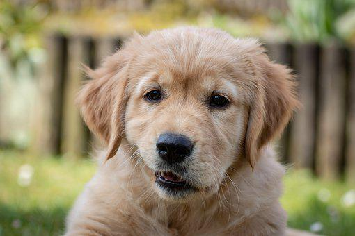 Dog, Puppy, Cute, Purebred Dog, Dog Look, View