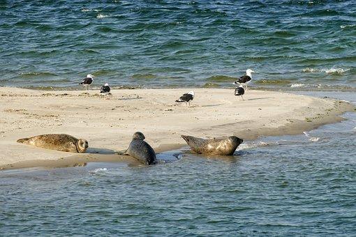 Seal, Seals, Wadden Sea, Ameland, Water, Mammal, Sea
