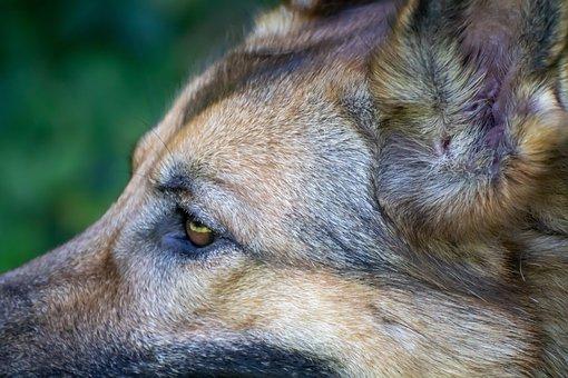 Dog, Schäfer Dog, Head, Snout, Animal Portrait
