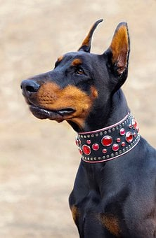 Doberman, Dog, Nice, Dog Collar, Stones, Pink, Head