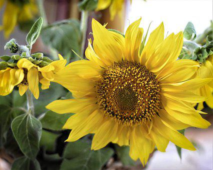 Sunflower, Plant, Yellow, Summer, Nature, Blossom