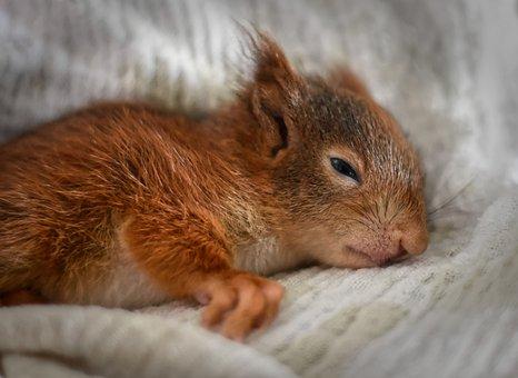 Squirrel, Young Animal, Tired, Sleep, Fall Asleep