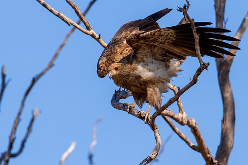 Birds, Whistling Kite, Nature, Birds Of Prey, Wildlife
