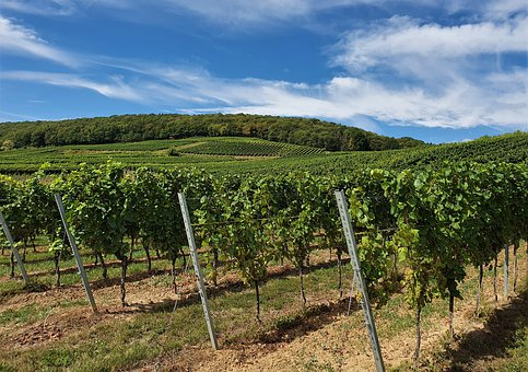 Vines, Sky, Clouds, Agriculture, Vineyard, Plant, Field