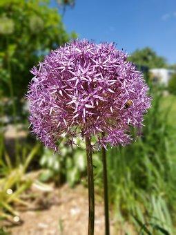 Large Purple, Allium Flower, Montreal Botanical Garden