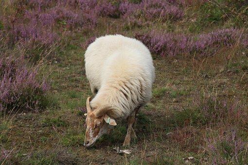 Heide, Hei, Sheep, Animals, Cattle, Browser, Nature