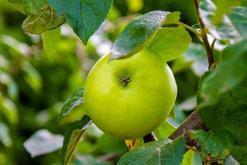 Apple, Green, Branch, Construction Pole, Apple Tree