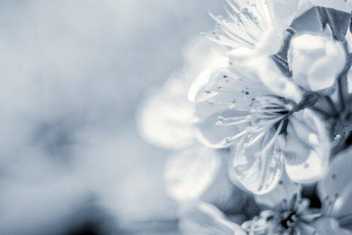 Apple Flower, Flowering Tree, Spring, Bichromia