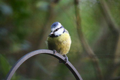 Blue, Yellow, Blue Tit, Bird, Nature, Songbird, Garden