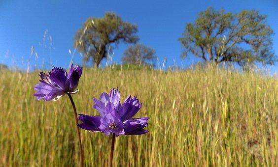 Brodeia, Field, Oak Woodland, Oaks, Landscape, Sunshine