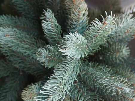 Conifer, Blue Spruce, Close Up, Needles, Forest, Nature