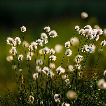 Swamp, Cotton Grass, Marsh, Flower, Plant, Evening