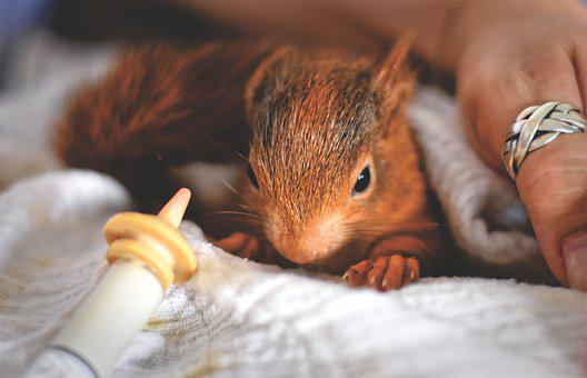 Squirrel, Young Animal, Foundling, Beef Up, Saved, Feed