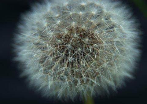 Macro, Dandelion, Close Up, Flower, White