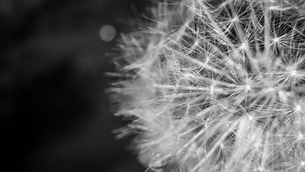 Dandelion, Detail, Nature, Plant, Flower, Macro, Seeds