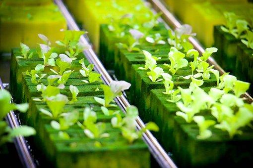 Hydroponics, Farmland, Green, Farm, Plant, Cultivating