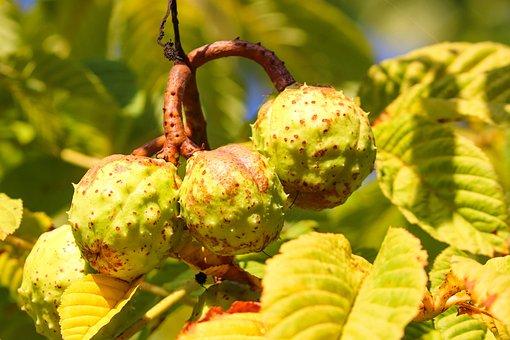 Chestnut, Prickly, Immature, Tree, Fruit, Nature