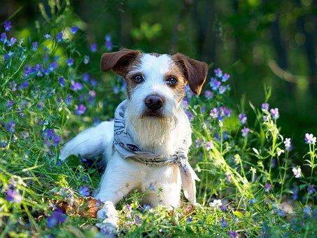 Dog, Kromfohrländer, Kromfohrlander, Companion Dog