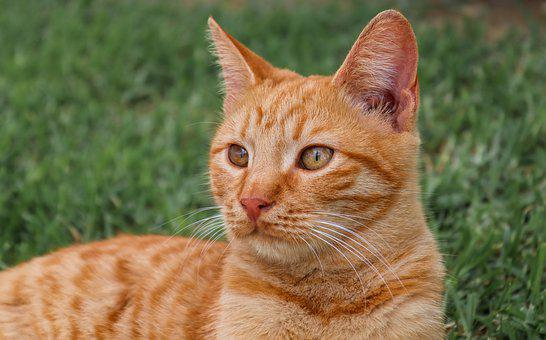 Cat, Red, Young, Domestic Cat, Mackerel, Face, Pet