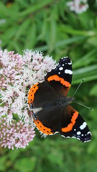 Butterfly, Nature, Animal, Insect, Wing, Macro