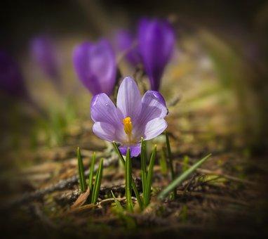 Spring, Flower, Purple, Krokus, Nature, Macro, Grass