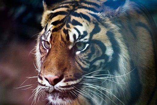 Tiger, Predator, Zoo, Animals, Wild, Nature, Animal