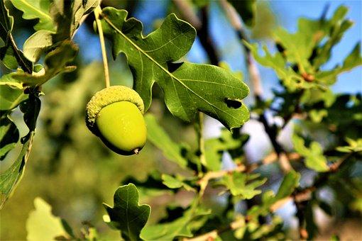 Bonito, Oak, Nature, Plant, Tree, Autumn