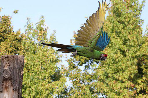 Ara, Parrot, Macaw, Flying, Bird, Colorful, Plumage