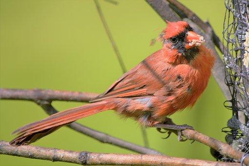 Bird, Cardinal, Male, Perched, Staring, Mouthful