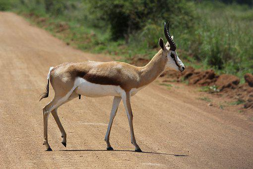 Springbok, Ram, Walk, Horns, Road, Nature, Animal