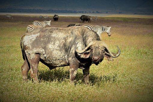 Buffalo, Africa, Cape, Safari, Wildlife, Nature