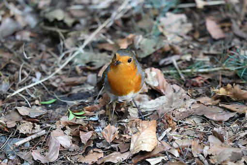 Robin, Bird, Nature, Songbird, Animal, Garden, Red